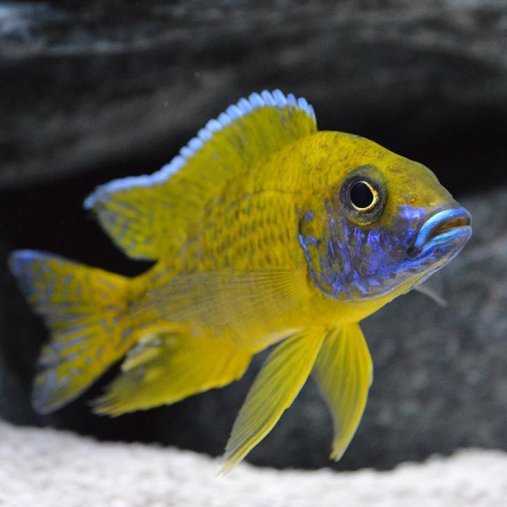 Sunshine peacock steve for African cichlid fish