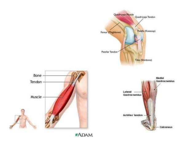 Dorable Coloración Muscular Páginas Anatomía Modelo - Páginas Para ...