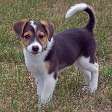 Corgi & Beagle Mixed Breed