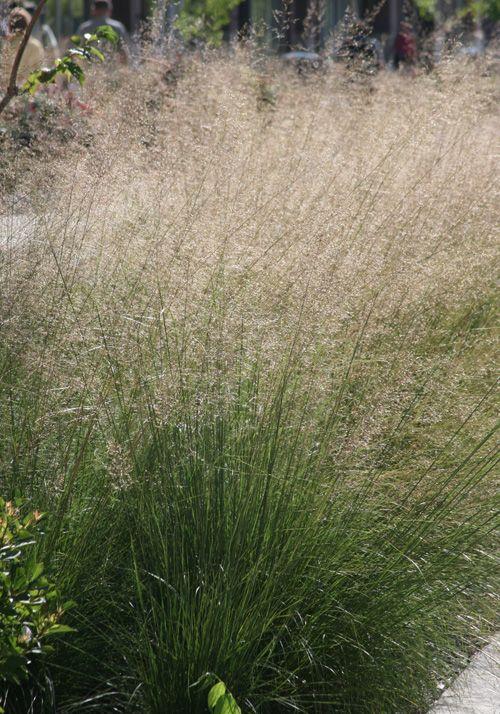 8 best sporobolus prairie dropseed images on pinterest for Ornamental prairie grass