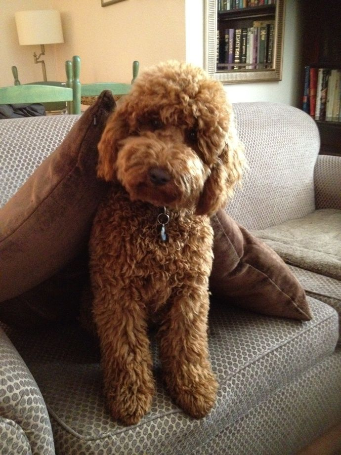 Australian Labradoodle....omg I'm obsessed with this breed! They are absolutely adorable! I want one so bad!!!