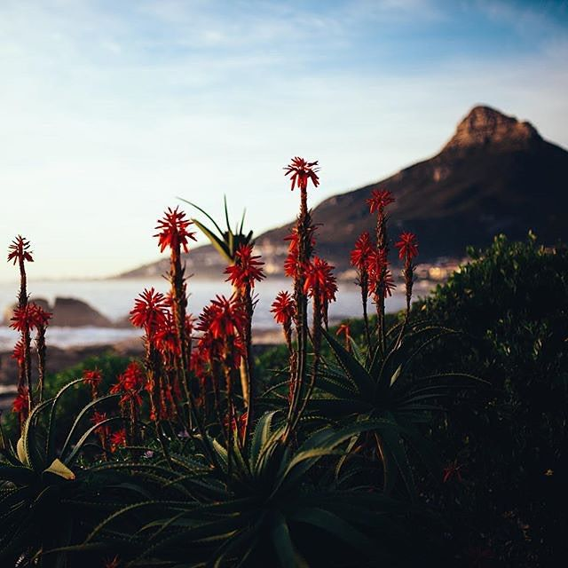 Did you know? South Africa is the only country with its own floral kingdom. Instagram user @shadigarman captured a few members showing off in #CapeTown