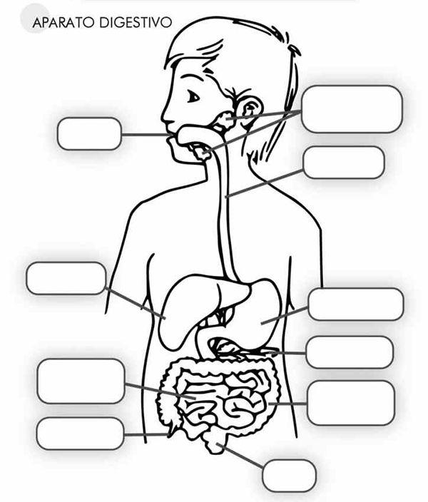 Aparato Digestivo Para Ninos Explicado Paso A Paso Aparatos Del Cuerpo Humano Sistemas Del Cuerpo Humano Cuerpo Humano Para Ninos