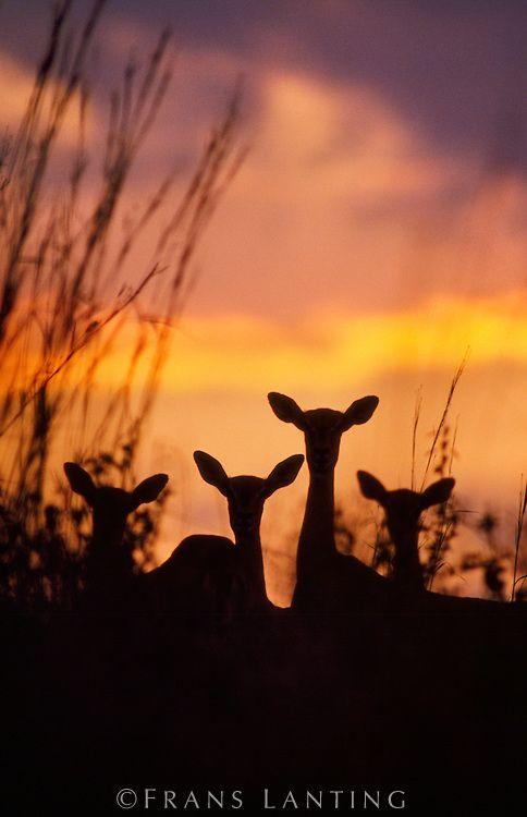 Impalas at dusk, Okavango Delta, Botswana Africa | by Frans Lanting