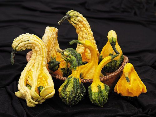 Autumn Wing Gourd Seeds - Warts, Wings, and Curved Necks - Worldwide - 20 Seeds #theseedhouse