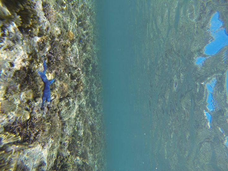 Blue starfish Kiriwina island