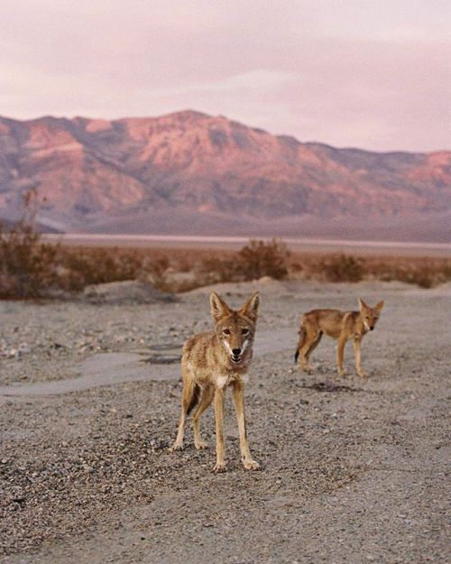 Photographer Hollie Fernando(@holliefernando) met this pair at golden hour during a road trip in #DeathValley #California. I was on my way to my cabin in the middle of the park and these coyotes were hanging out on the side of the road she remembers I stopped to take some photos and they were so bold for an animal that is usually very hard to get sight of. Turns out they had become very brave around that area due to tourists feeding them from their cars which is illegal…