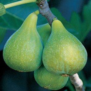 Desert King Fig. One of the best varieties for the Northwest.