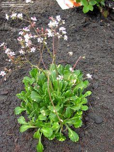 PlantFiles Pictures: Variegated London Pride, Robertsoniana Saxifrage 'Aureopunctata' (Saxifraga x urbium) by daryl