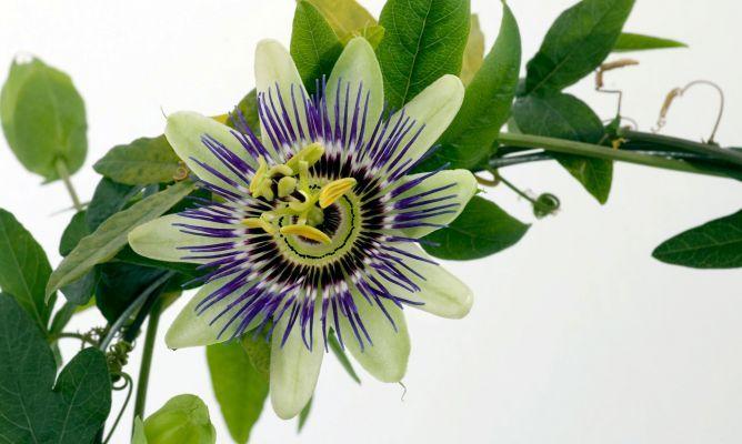 Descubre las propiedades analgésicas, hipotensoras y sedantes de la planta Pasionaria y sus posibles usos en remedios naturales.