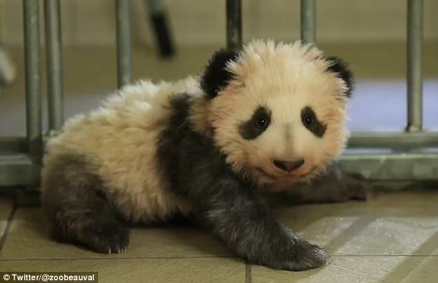 Beauval Zoo video shows baby panda learning to walk | Daily Mail Online