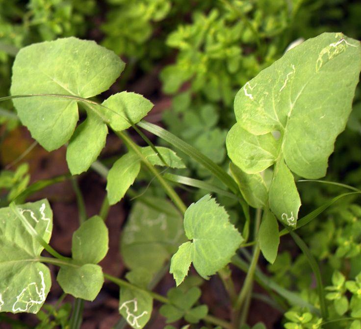 Kaalivalvatti Sow thistle .a wild green good in salads