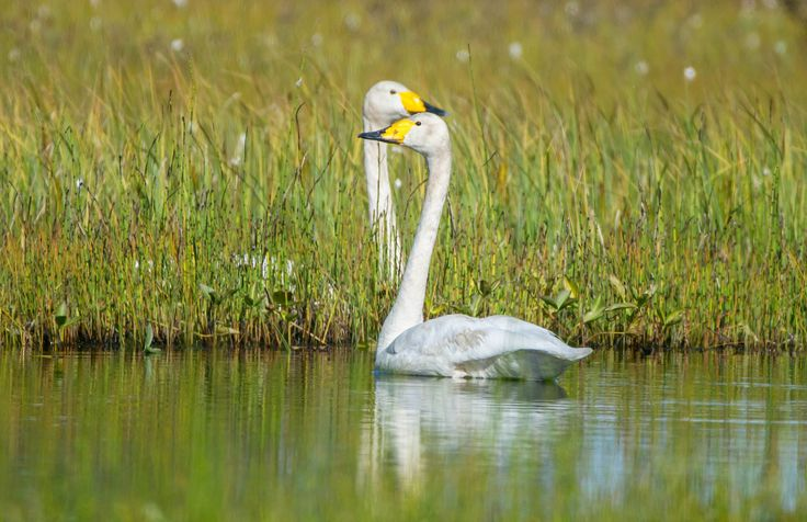 Путешествие в Эселях, птицы лебеди