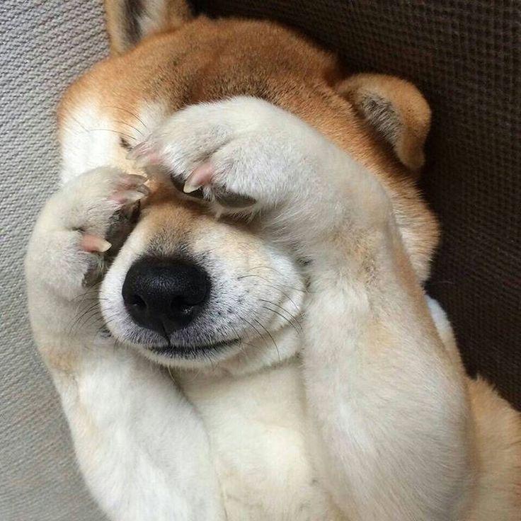 「親友の家の 柴犬 クッキー 得意芸は いないないばー 可愛い #親友の家の犬#いないないばー#柴犬#富山」