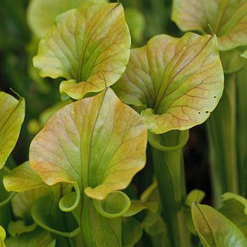 Pitcher Plants grow Pondside and are carnivorous, so it will help take care of insects