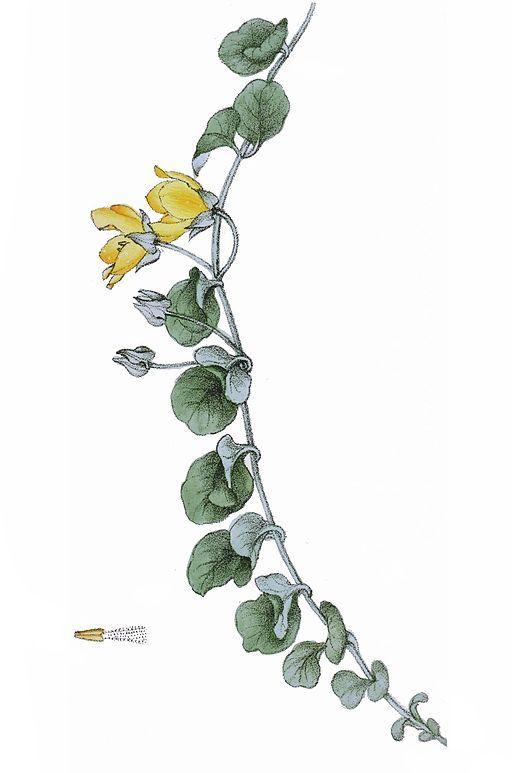 Die Blätter des Pfennigkrauts sind rund und groß wie ein Pfennig. Es kann dir…