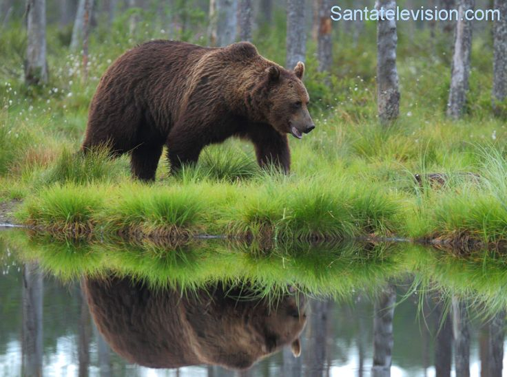 Orso bruno in Finlandia