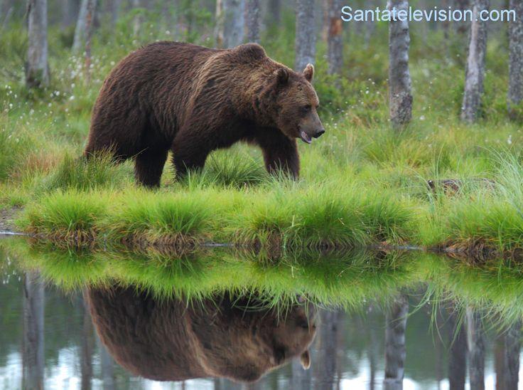 Ours brun en Finlande