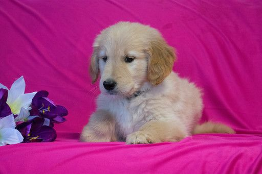 Golden Retriever Puppy For Sale In Cuyahoga Falls Oh Adn 71317