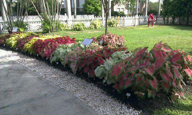 caring for caladiums | Tropical Florida Gardens