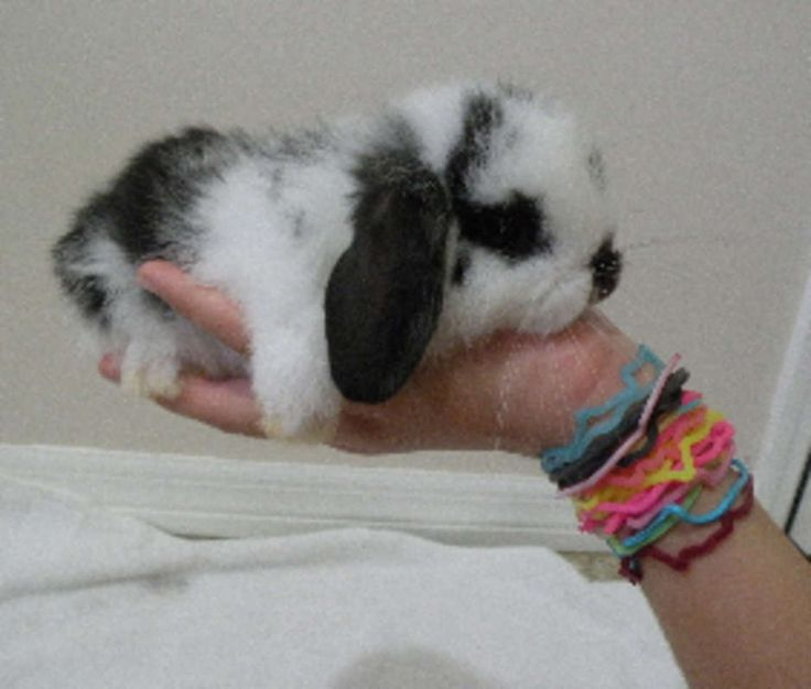 Best 25 Dwarf bunnies for sale ideas on Pinterest  Holland lop