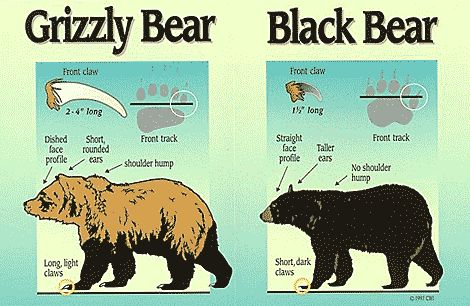 Photo showing differences between black and brown bears