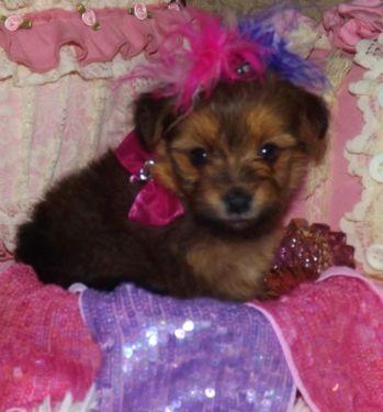 Tiny Pomeranian /Yorkie Mixed  For sale