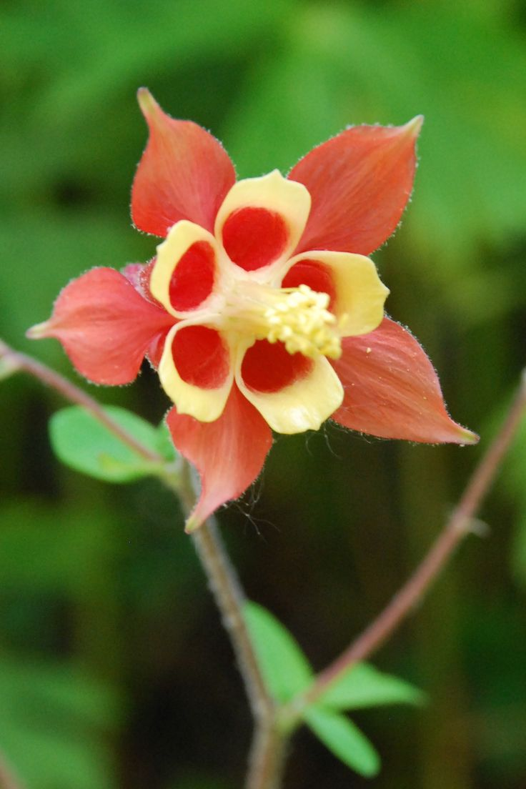 80 best columbine images on pinterest flowers bloemen and blossoms columbine izmirmasajfo