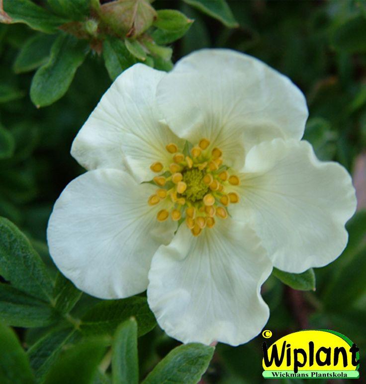 Dasiphora (Potentilla) f. 'Tilford Cream', Ölandstok. Gräddvita blommor, bredväxande. Höjd: 0,5-0,8 m.