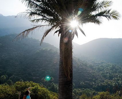 "Palma chilena palm tree in la Campana national park, central Chile. ""Biosphere reserve"" Ecochile's day tour."
