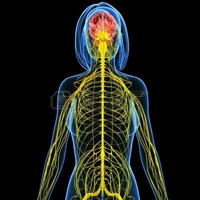 representación del sistema nervioso