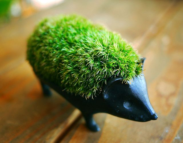 hedgehog moss bonsai - grown up chia pet