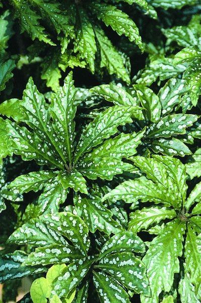 Hemsley's Begonia for sale buy Begonia hemsleyana