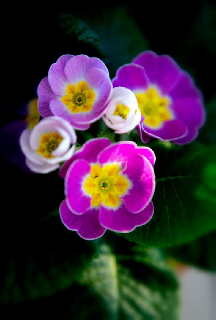 how to grow primrose flowers