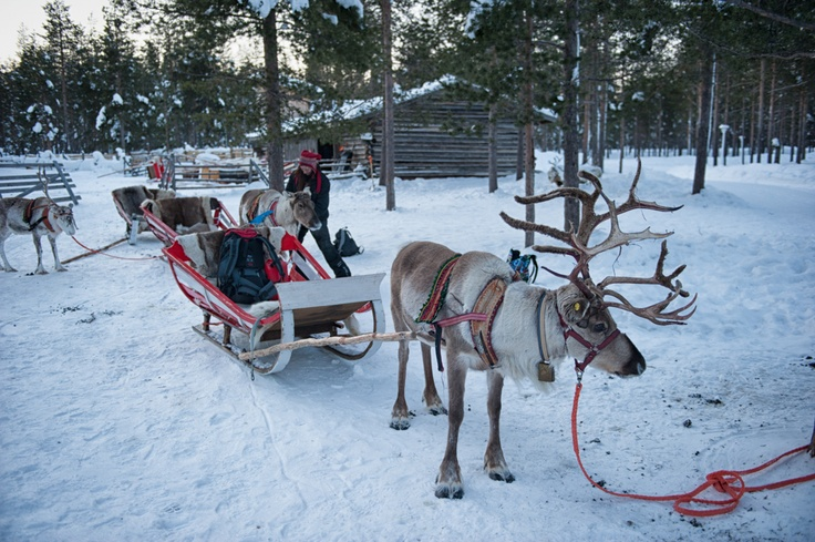 Reindeers almost ready to go