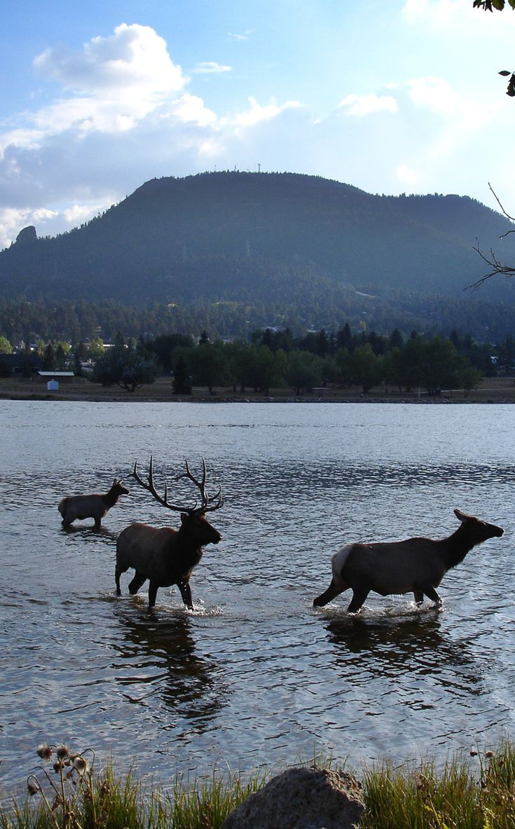 Great fun to see elk and mule deer just strolling around town. Estes Park, Co.