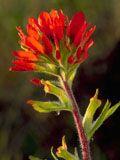 Castilleja coccinea (Scarlet paintbrush)   NPIN