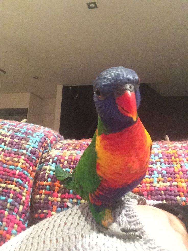 Our new Rainbow Lorikeet - Monty ... He's such a character !! Looooves attention and being out of his cage ! He's about 15 months old now ..... We got him off a family who no longer had time for him ... Lovely wee man !!