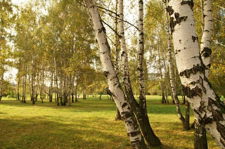 Birch trees. Description from warriorcatsrpg.com. I searched for this on bing.com/images