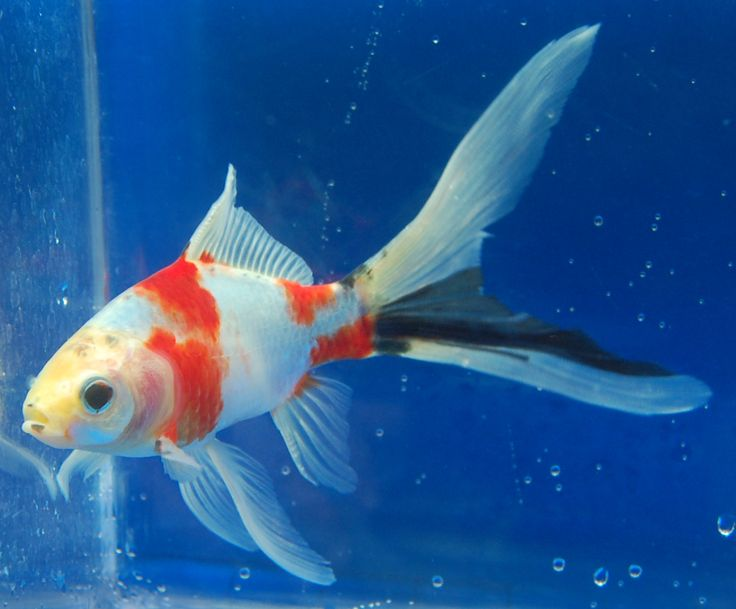 American Shubunkin - Japanese Shubunkin (Goldfish)