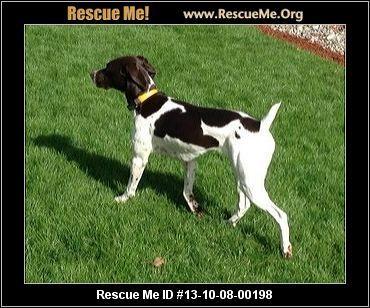 Annie— Washington German Shorthaired Pointer Rescue — ADOPTIONS —RescueMe.Org