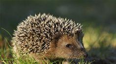 Wildtiere: Igel In Europa gibt es zwei Igelarten: Den Braunbrustigel (s.o.) und den nördlichen Weißbrustigel. In heimischen Gärten wohnen die Tiere gerne in Laubhaufen oder Hecken. Die Insektenfresser sind nicht nur süß anzusehen, sondern auch nützlich, denn sie befreien Ihren Garten von Schädlingen. Da Igel Winterschlaf halten wird empfohlen im Herbst etwas Laub im Garten liegen zu lassen, so bieten Sie den Tieren einen idealen Unterschlupf für die kalte Jahreszeit.