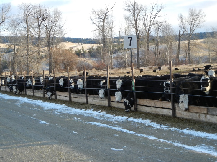#Angus cross makes the best feeder steer. #CanadianAngusRancherEndorsed guarantees at least 50% Angus genetics. Watch for the green #Angus #tag.