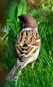 Image result for tree sparrow back