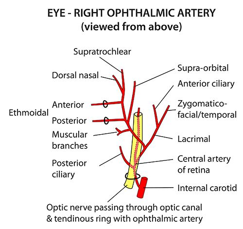 Instant Anatomy - Head and Neck - Vessels - Arteries - Ophthalmic artery