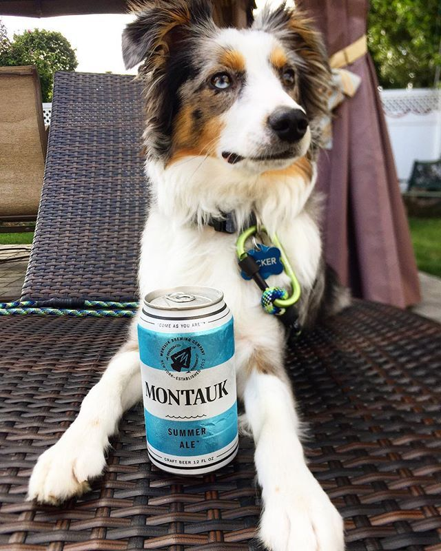 Instagram media by tucker_miniaussie - Enjoying my weekend. What you TAUKin' about!? @montaukbrewco . . Check out the best Aussies around!!: @miniaussiemax @newmaninnewyork  Do you want to be NY partners! DM me! . . #australianshepherdworld #love #australianshepherd #puppiesofinsta #dogsofinsta #miniaussie #bluemerle #instagood #cute #puppies #aussie #aussielove #puppyaussie #instapuppy #smile #happy #aussiefeature #model #love #puppy #dog #instalikes #instapets #instadaily #like4like…