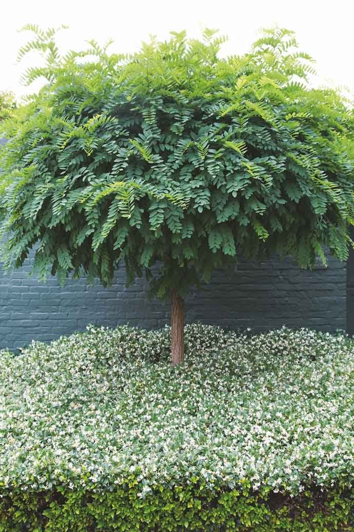 Manicured Robinia hispida tree + star jasmine ground cover :: House and Leisure
