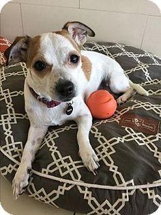 Orange, CA - Jack Russell Terrier Mix. Meet Leilani, a dog for adoption. http://www.adoptapet.com/pet/15859260-orange-california-jack-russell-terrier-mix