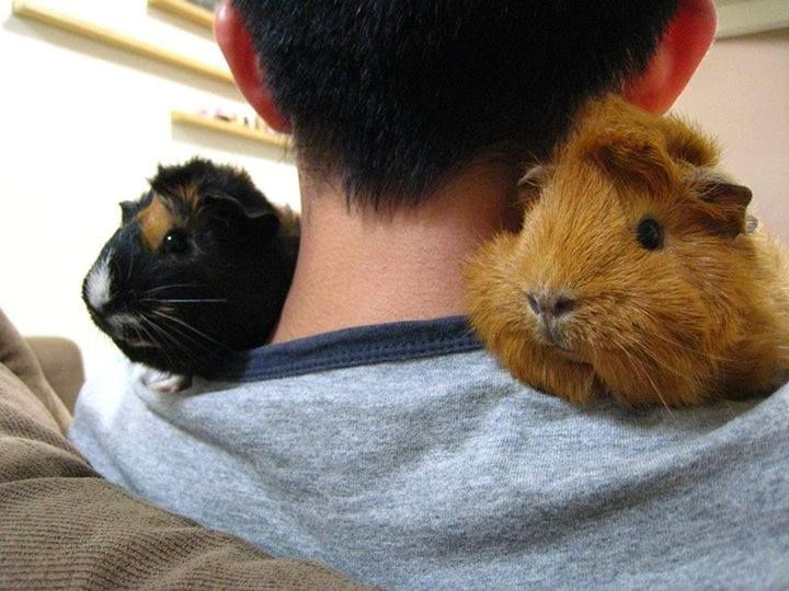 332 Best Images About Guinea Pigs On Pinterest Cavy