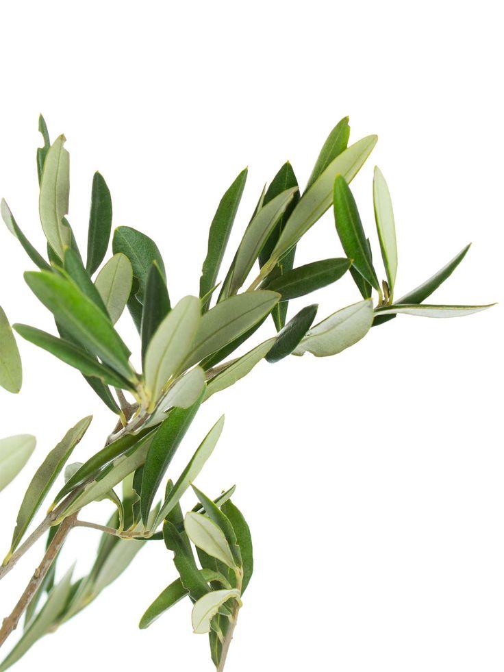 Olivengrün - Frische Olivenzweige jetzt entdecken auf Blumigo.de. Saison im Januar, Februar, März, April, Mai, Juni, Juli, August, September, Oktober, November und Dezember. #schnittblume #blumen #grün #hochzeit #hochzeitsblumen #hochzeitsdeko #blumendeko #weddingflowers #floristik